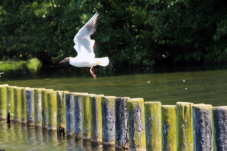 Bird Flying Over Wooden Post In Water