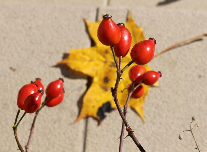 Fruit Food Healthy Eating Red Food And Drink Freshness Close-up Plant Focus On Foreground Wellbeing No People Nature Plant Stem Ripe Day Cherry Outdoors Growth Rose Hip Tomato Rosehip Autumn Leaf EyEmNewHere Fall