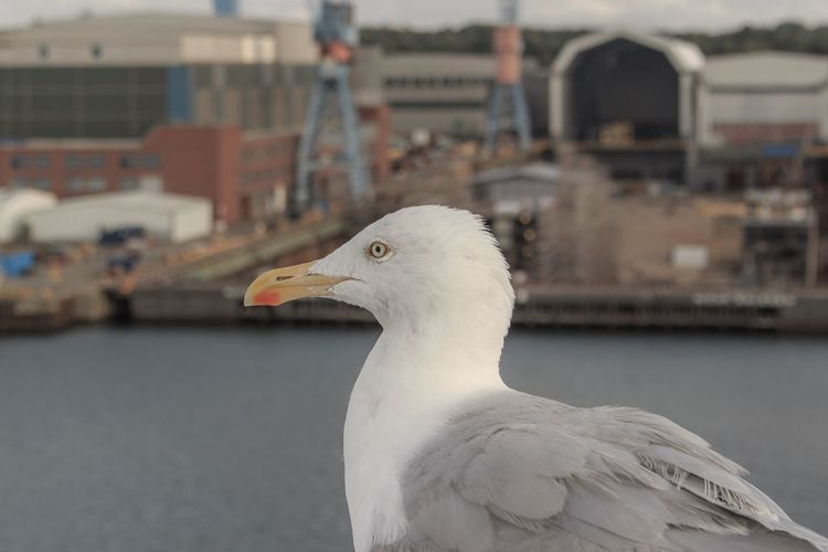 A seagull. EyeEm Selects Animal Themes Bird Animal Vertebrate Animal Wildlife One Animal Animals In The Wild Focus On Foreground Seagull Close-up Beak No People Nature Water Day Perching Dove - Bird Animal Body Part White Color Animal Head