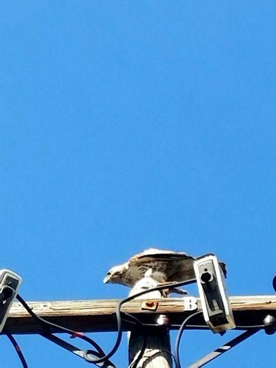 Hanging Out Taking Photos Bird Of Prey Bird Photography Urban Wildlife Bird On Post Bird Feeding Hawk Bird And Prey Outdoor Photography