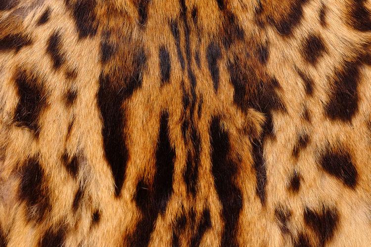 textured detail skin or fur asian goldden cat or Temminck's cat Temminck's Cat; Animal; Asia; Asian; Asian Goldden Cat; Background; Beast; Black; Brown; Carnivore; Cat; Close-up; Closeup; Color; Colorful; Creature; Death; Decor; Design; Detail; Endangered; Fashion; Feline; Fur; Furry; Hair; Hunter; Isolated; Jungle; L