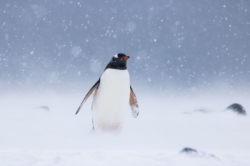 Gentoo Penguin standing in a blizzard at Yankee Harbour, South Shetland Islands, Antarctica. Antarctica Gentoo Penguin Wildlife & Nature Wildlife Photography Animal Themes Animal Wildlife Animals In The Wild Antarctic Peninsula Antartica Beauty In Nature Bird Blizzard Gentoo  Nature One Animal Outdoors Penguin Penguins Pygoscelis Pygoscelis Papua Snow Snowing South Shetland Islands Wildlife The Great Outdoors - 2018 EyeEm Awards