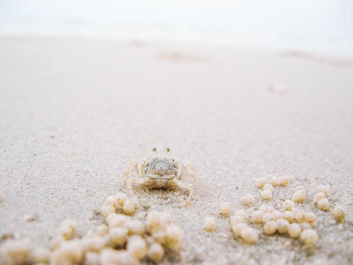 Ghost crab on the beach. hua hin, thailand