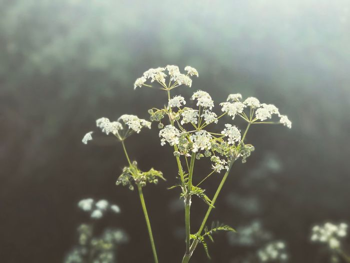 'Dream a little dream of me.' Flower Growth Nature Plant Beauty In Nature No People Fragility Blooming Outdoors Close-up Freshness Day Flower Head Cow Parsley