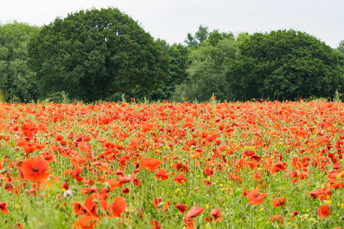Poppies in a field. Field Field Of Flowers Fields Fieldscape Flower Flower Collection Flowers Nature Poppies  Poppies Field Poppies In Bloom Poppy Poppy Field Poppy Fields Poppy Flower Poppy Flowers Red Red Flower Red Flowers Outdoors Blooming Beauty In Nature No People Poppies  Plant
