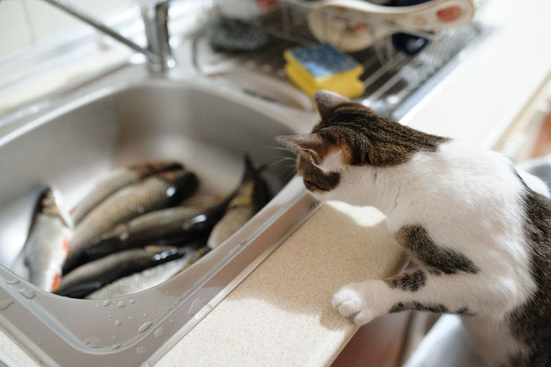 Fish Tub Cat Watching Animal Animal Themes Vertebrate Pets Domestic Cat Domestic Feline Mammal Domestic Animals Indoors  One Animal No People Close-up Focus On Foreground Domestic Room Sink Food Kitchen Whisker