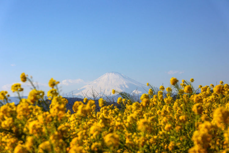 Mt. fuji view and rapeseed blossoms - yellow and blue