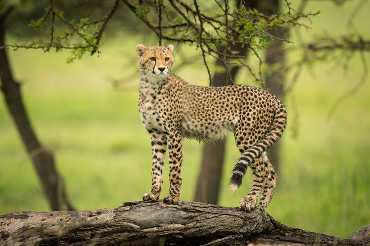 Cheetah cub standing on log looking round