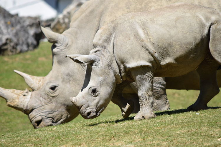 mom and baby Rhinoceros Animal Themes Animals In The Wild Baby Close-up Day Domestic Animals Field Grass Grazing Horned Livestock Mammal Nature No People Outdoors Rhinoceros