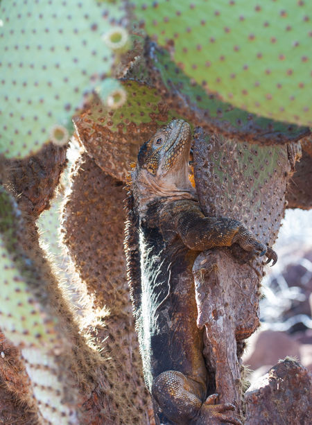 Galapagos Land Leguan Cactus Animal Behavior Animals In The Wild Animal Themes