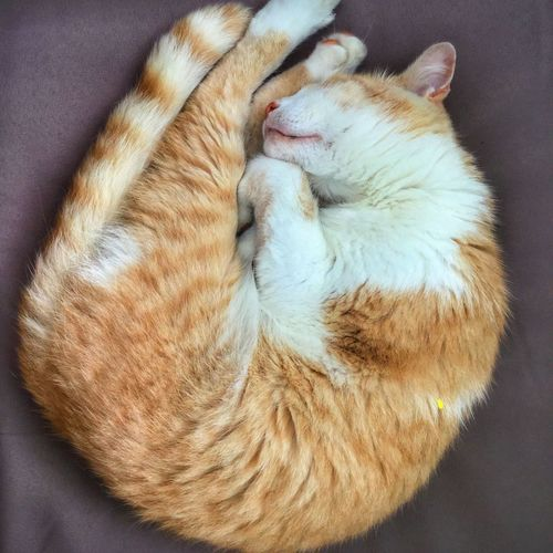 Close-up of ginger cat sleeping