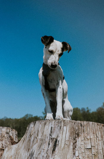 Portrait of jack russel on tree stump