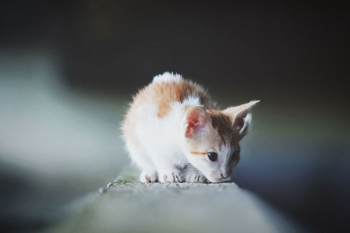 EyeEm Selects The Curious Kitten Kitten Cat Animal Themes One Animal Domestic Cat Domestic Animals Pets Close-up Animal Head  Kitten Adorable Kittens Of Eyeem Kitten Photography Young Animal Cute Kittenoftheday Kitty Cat Kittenlovers Canon Lens