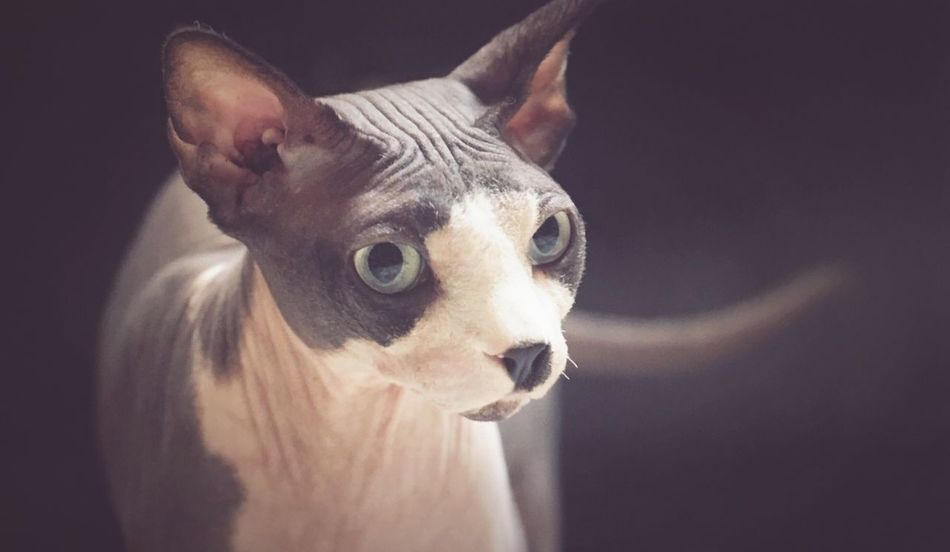 Pets One Animal Animal Themes Cat Cat♡ Cat Lovers Cats Cats Of EyeEm Sphynx Sphynx Cat Sphynxlove Sphynxportrait