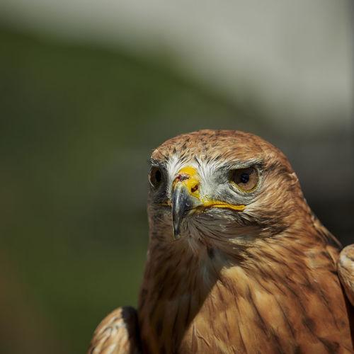 Close-up portrait of common buzzard