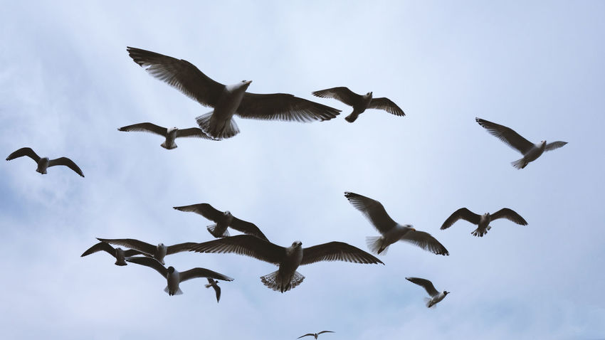 Flying High Animal Animal Themes Animal Wildlife Animals In The Wild Beauty In Nature Bird Close-up Cloud - Sky Day Flock Of Birds Flying Goose Group Of Animals Large Group Of Animals Low Angle View Mid-air Motion Movement Nature No People Seagull Sky Spread Wings Vertebrate