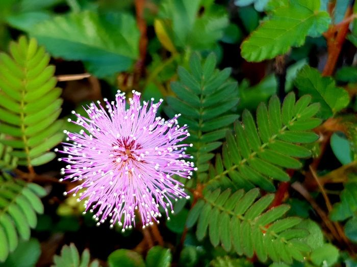 mimosa pudica Mimosa Pudica Mimosa Flowers Flower Head Flower Leaf Thistle Purple Close-up Plant Botanical Garden Blooming Botany Plant Life