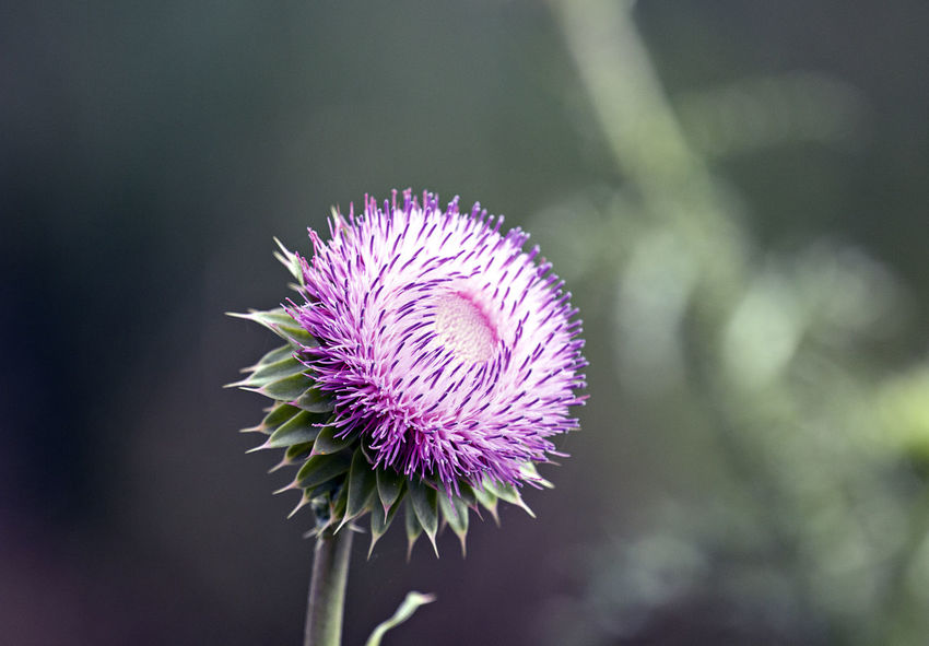 Beauty In Nature Close-up Day Flower Flower Head Flowering Plant Focus On Foreground Fragility Freshness Growth Inflorescence Nature No People Outdoors Petal Plant Plant Stem Purple Sepal Thistle Vulnerability