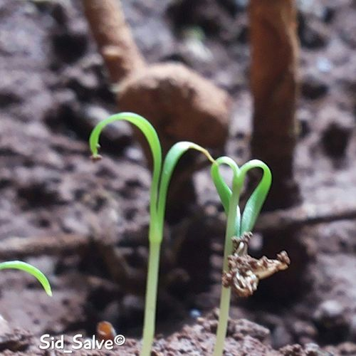 Ohhh!!! :O the plant made a Heart♥ Sweet Plantmadeaheart Heart Creativeplant Yariroad Mumbai Macro Focus 4xzoom Sunrays