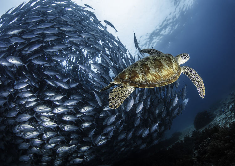 Turtle swimming by school of fish undersea