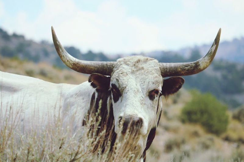 EyeEm Selects Livestock Horned Cattle One Animal Looking At Camera Outdoors Cow No People Nature Close-up Bull