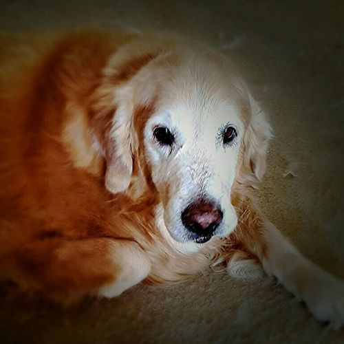 My dog Riley. Goldenretriever Dog Cutie Blonde Mansbestfriend Loyal Enjoying Life Photography Taking Photos Having Fun
