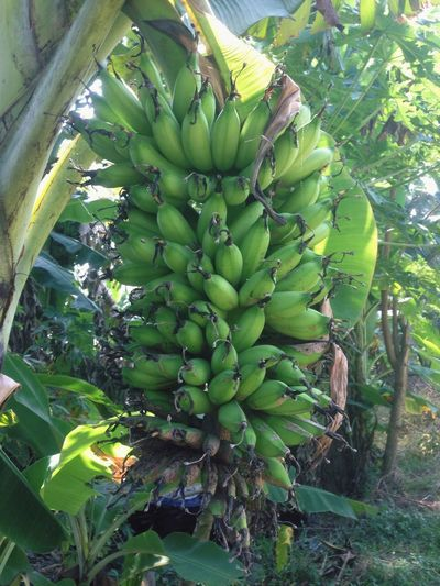 Young Banana Growth Food And Drink Healthy Eating Green Color Plant Fruit Food Tree Outdoors Banana Leaf Day