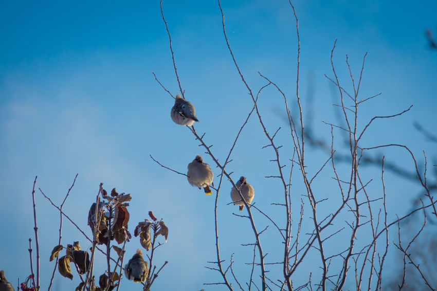 Wintertime Animal Animal Themes Animal Wildlife Animals In The Wild Beauty In Nature Bird Branch Close-up Cotton Plant Day Dead Plant Focus On Foreground Group Of Animals Growth Low Angle View Nature No People Outdoors Plant Sky Tree Twig Waxwing Waxwings