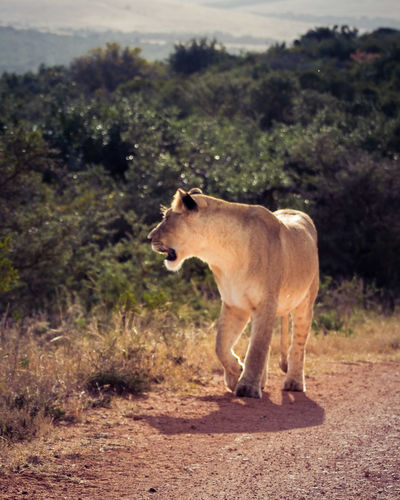 A New Beginning Lionness Animal Animals In The Wild Animal Wildlife Nature Landscape LumixG80 Lumber Industry EyeEmNewHere