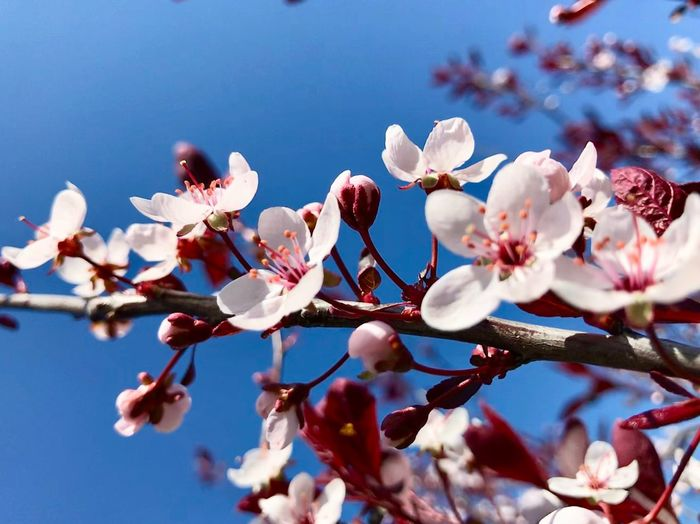 Close-up of cherry blossoms in spring against sky