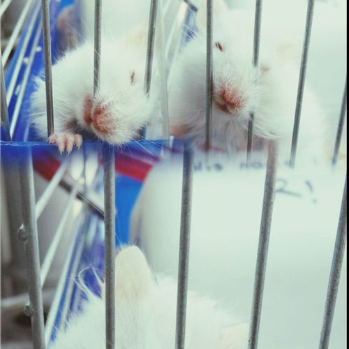 Pet Hamster Cute