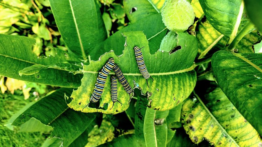 The Four Caterpillars Pt. 2 Caterpillars  Insects  Leaves Friends Best Friends Insect Animals In The Wild Animal Themes Leaf Green Color Nature Animal Wildlife Close-up No People Outdoors Day Plant Beauty In Nature Fragility