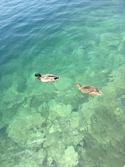 Animal Animal Themes Animal Wildlife Animals In The Wild Beauty In Nature Duck Ducks Group Of Animals High Angle View Nature No People Outdoors Sea Swimming Turquoise Colored Waterfront