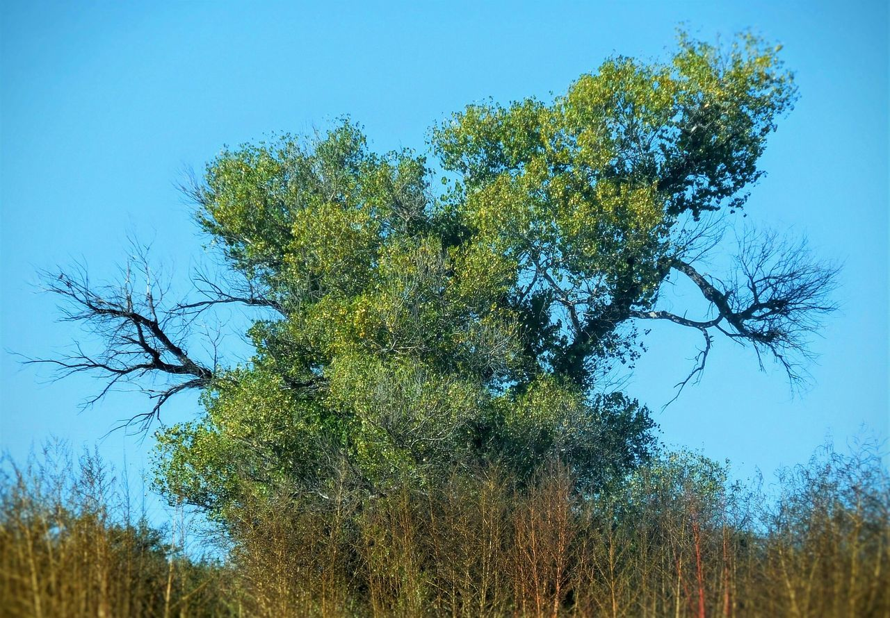 tree, growth, nature, low angle view, day, blue, clear sky, beauty in nature, outdoors, no people, tranquility, sky, branch