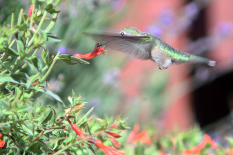 First attempt at hummingbird photography. Animal Animal Themes Animal Wildlife Animals In The Wild Beauty In Nature Bird Blurred Motion Close-up Day Flying Growth Hummingbird Mid-air Motion Nature No People One Animal Outdoors Plant Selective Focus Spread Wings Vertebrate