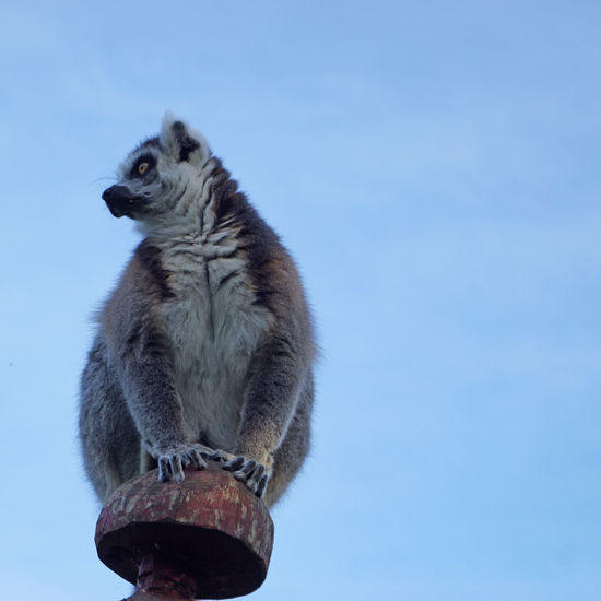 Tierisches Animal Animal Themes Animal Wildlife Animals In The Wild Blue Copy Space Day Focus On Foreground Full Length Lemur Looking Away Mammal Nature No People One Animal Outdoors Sitting Sky Standing Vertebrate
