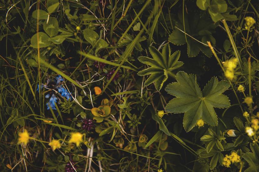 Botanical series: Micrology / Shot with Nikon D800E Ajuga Reptans Alpine Bugleweed Green Kriechender Günsel Micro Plants Potentilla Crantzii Thymus Citriodorus Thymus Pulegioides Zitronenthymian Ajuga Alpine Cinquefoil Alps Botanical Bugle  Close-up Fingerkraut Fragility Lemon Thyme Macro Micrology Mini Mountain Plants Selective Focus