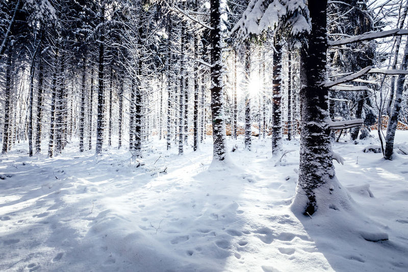 Winter trees Snow Winter Cold Temperature Tree Plant Land Forest Nature Covering Beauty In Nature Tranquility Tranquil Scene White Color Scenics - Nature Non-urban Scene Day No People Growth Trunk WoodLand Coniferous Tree Pine Tree Wintertime Winter Wonderland Winter Trees