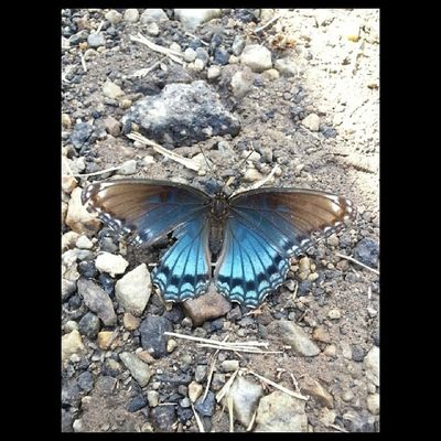 Pretty butterfly! Butterfly Blue Black Drumhellersorchard appleorchard apple samsung galaxy phone camera instagram