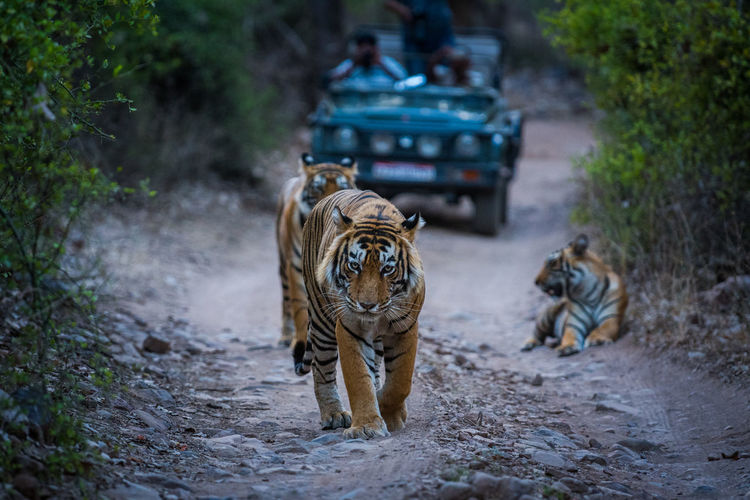 Tigers on dirt road with jeep in background