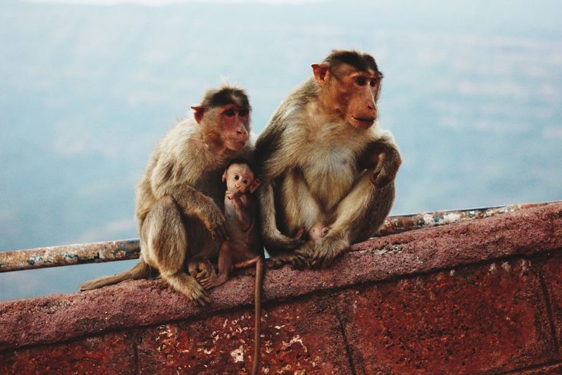 Animals Monkey Nature Perfect Family Picture
