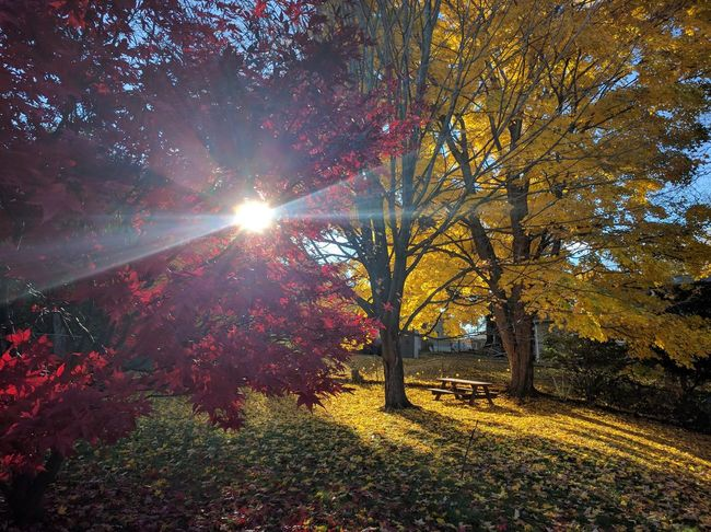 My backyard in November Fall Autumn Colors Autumn Leaves Wine And Gold Gold Leaves Red Leaves Seasons Nature Nature_collection Nature Photography Naturelovers Sun Sunshine Beauty In Nature Outdoors Tree Nature