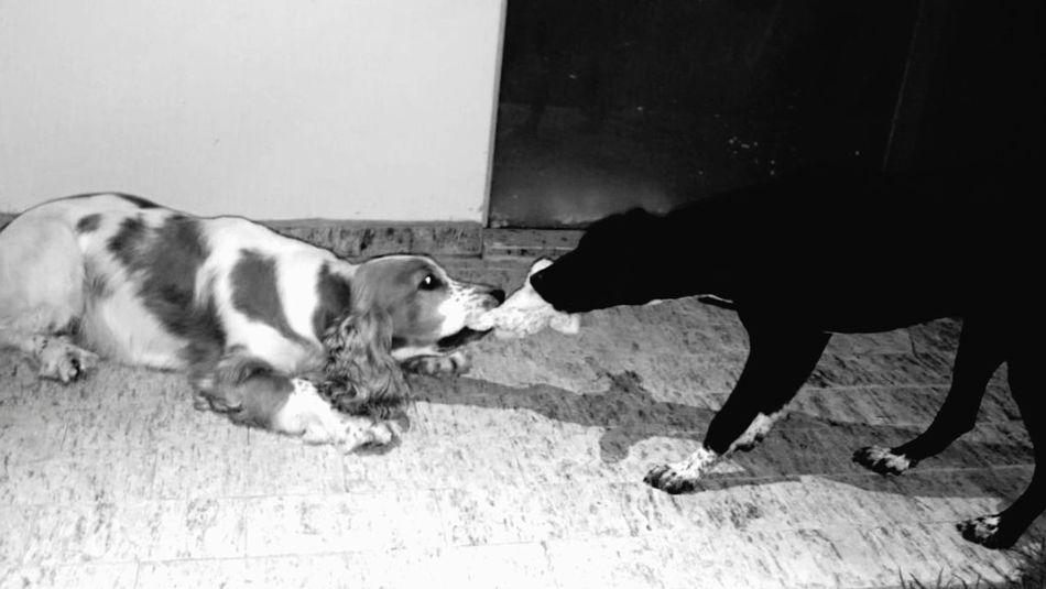 Dogs Just Kidding Brincando Cachorro Pets