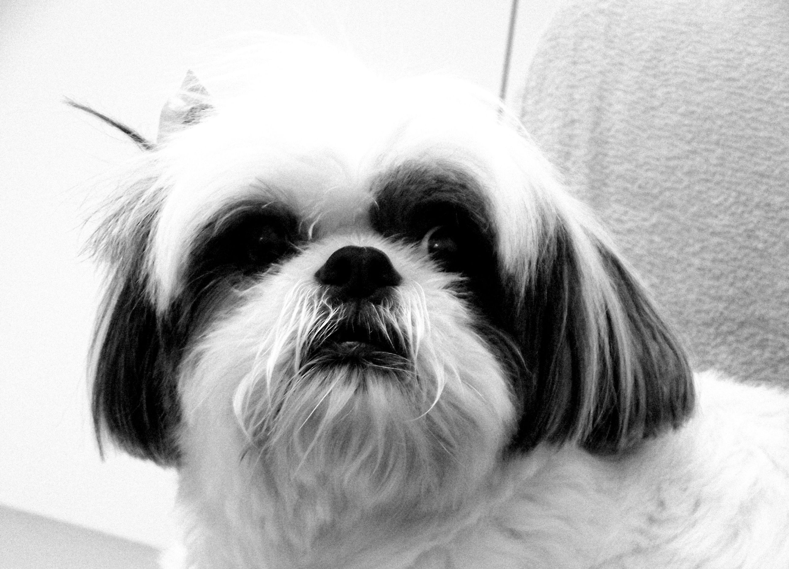 indoors, close-up, headshot, looking at camera, domestic animals, portrait, front view, animal hair, pets, lifestyles, wall - building feature, home interior, part of, mammal, human hair, day, focus on foreground, dog