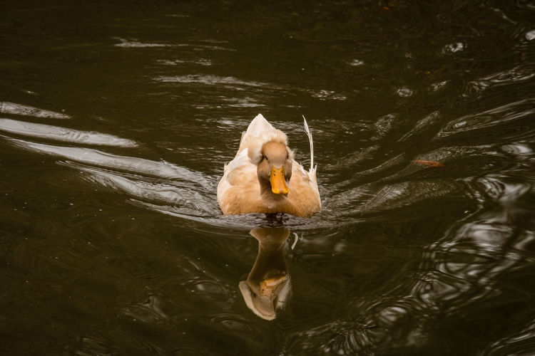 High angle view of duck swimming in lake