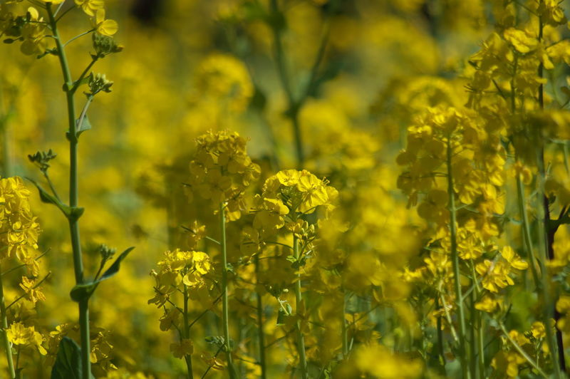 Yellow Flower Plant Flowering Plant Beauty In Nature Field Growth Freshness Fragility Selective Focus Vulnerability  Land Oilseed Rape Agriculture Day Nature Farm Crop  No People Rural Scene Outdoors Springtime