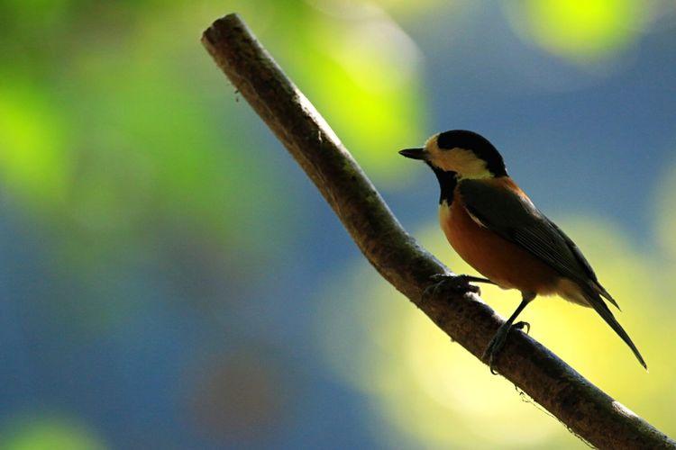 ヤマガラ 癒しの野鳥 葉っぱが落ちたらまた野鳥に会いに行きたいです。鳥さん、可愛すぎる✨