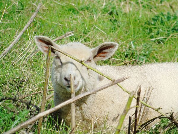Animal Themes Mammal One Animal Herbivorous Close-up Livestock Looking At Camera Green Color Nature Grassland Somerset Levels Uk In All Its Glory Nature On Your Doorstep Nature Animal Head  Peekabooo