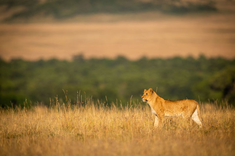 Lioness standing on grassy field