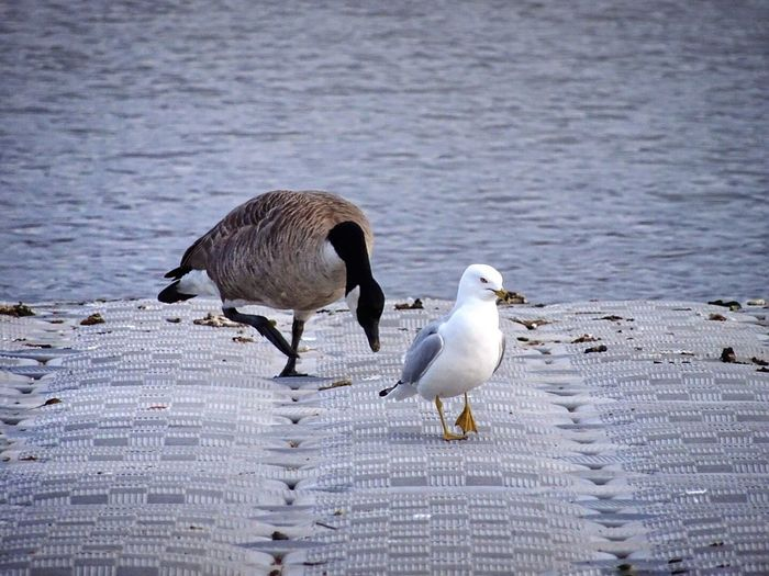 Close-up of duck and seagull at lakeshore